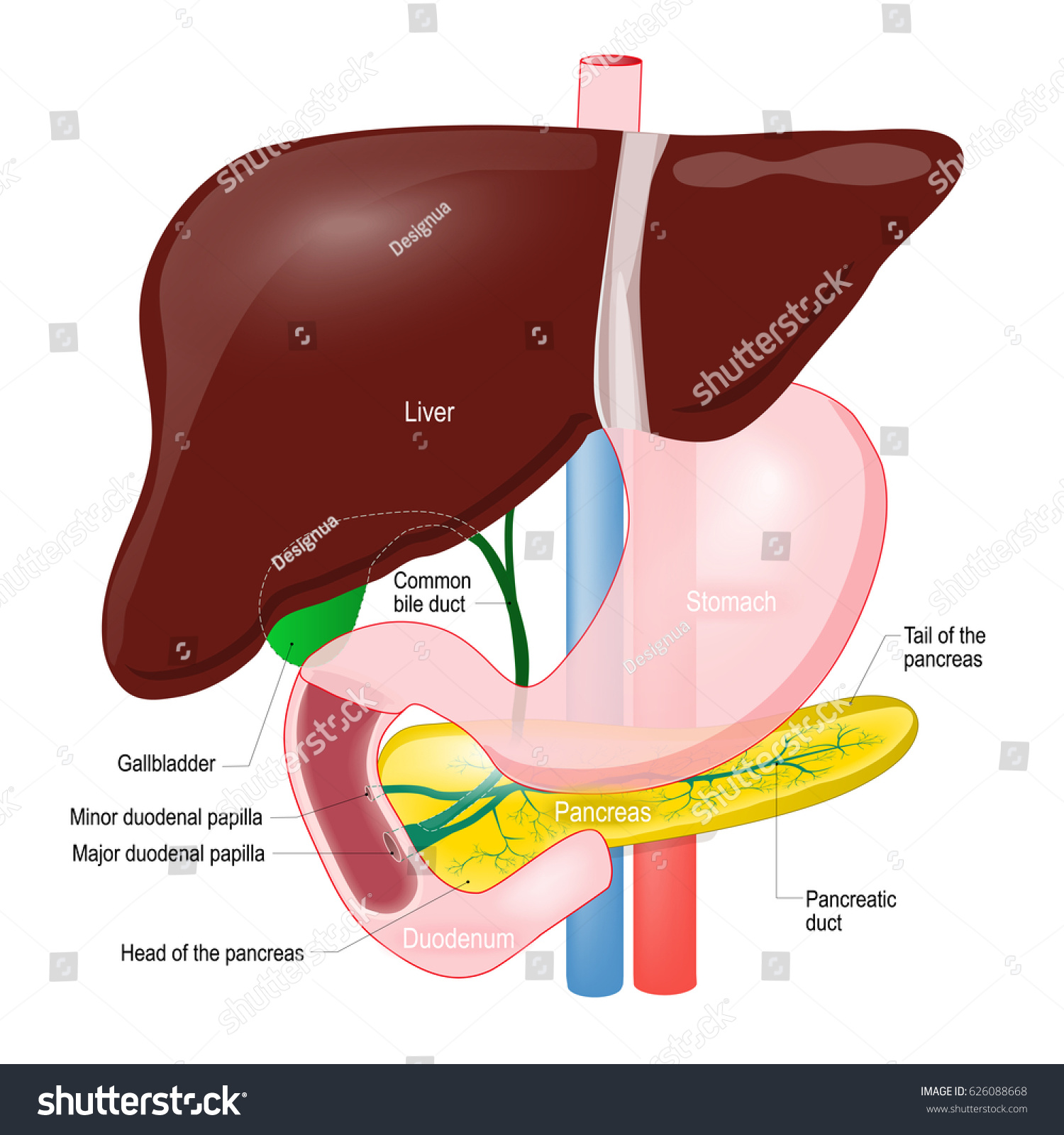 Gallbladder Duct Anatomy Pancreas Liver Duodenum Stock Illustration ...
