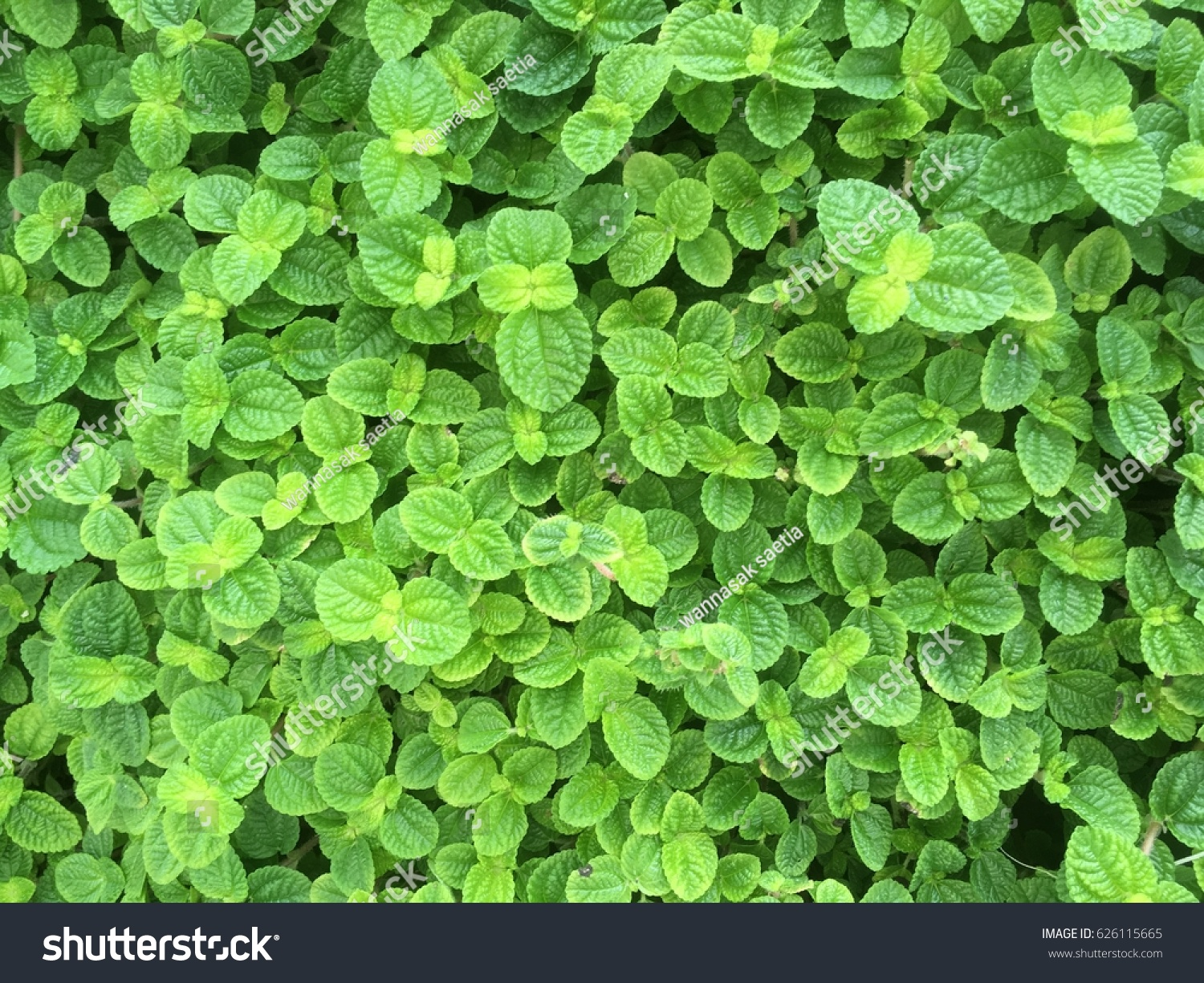 Mint Leaf Wallpaper Stock Photo 626115665
