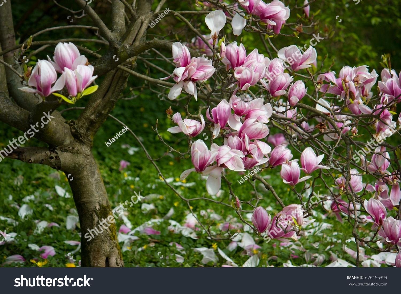 Magnolia Family Magnoliaceae Deciduous Tree Large Stock Photo Edit