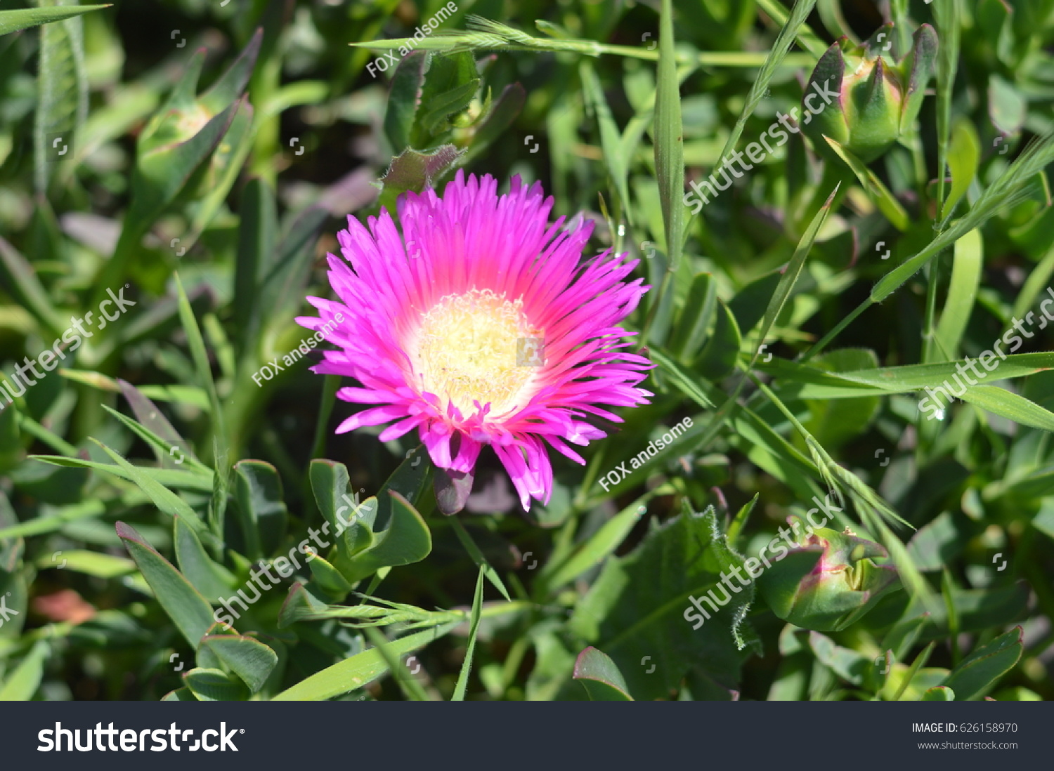 Aizoaceae Pink Ice Flower Opened Stock Photo Edit Now 626158970