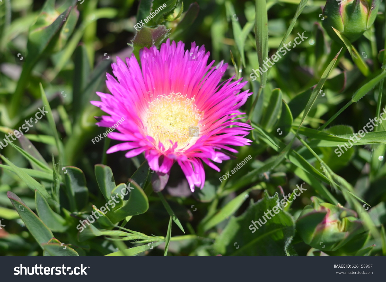 Aizoaceae Pink Ice Flower Opened Stock Photo Edit Now 626158997
