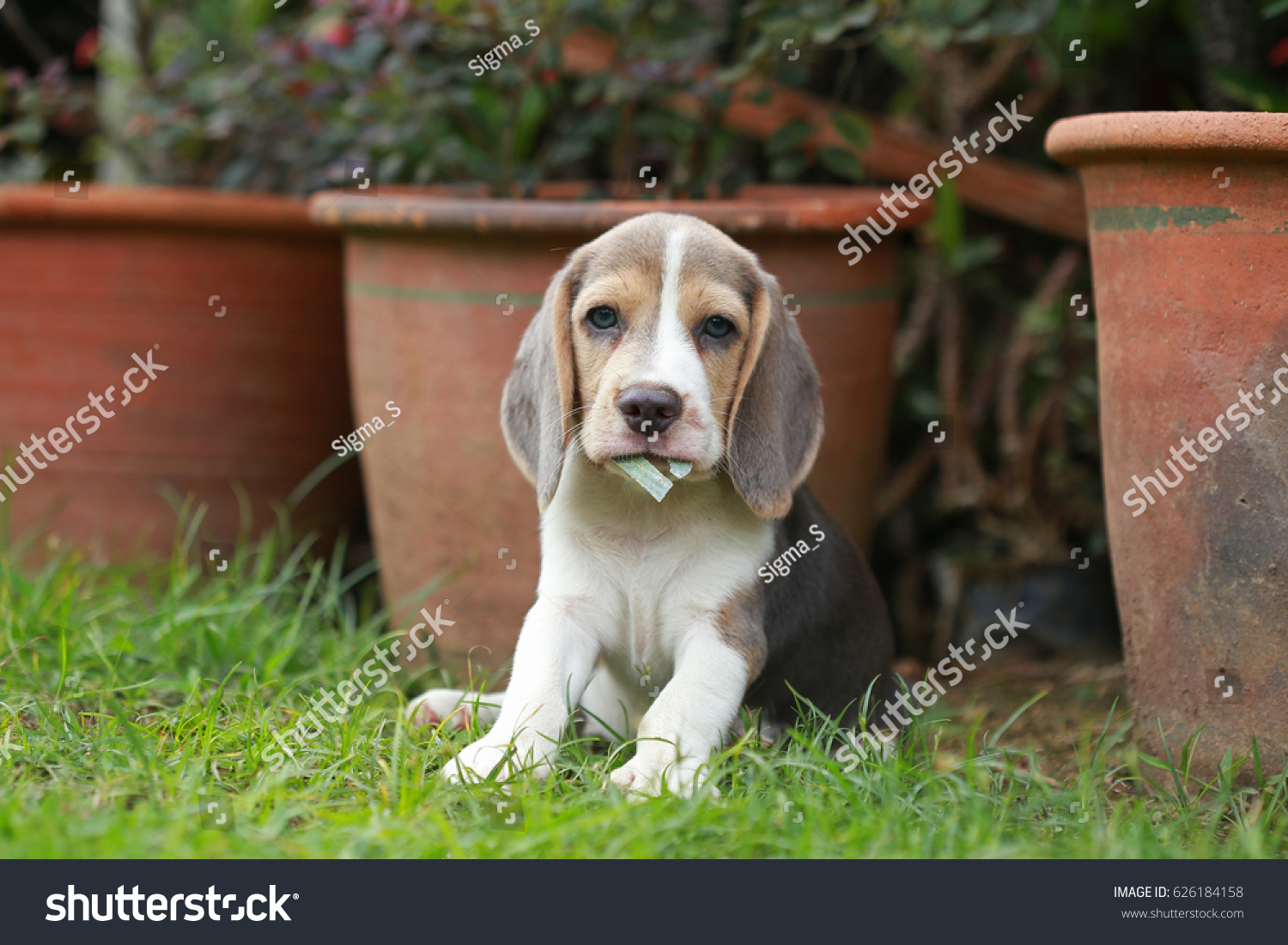 Strong Purebred Silver Tri Color Beagle Stock Photo Edit Now 626184158