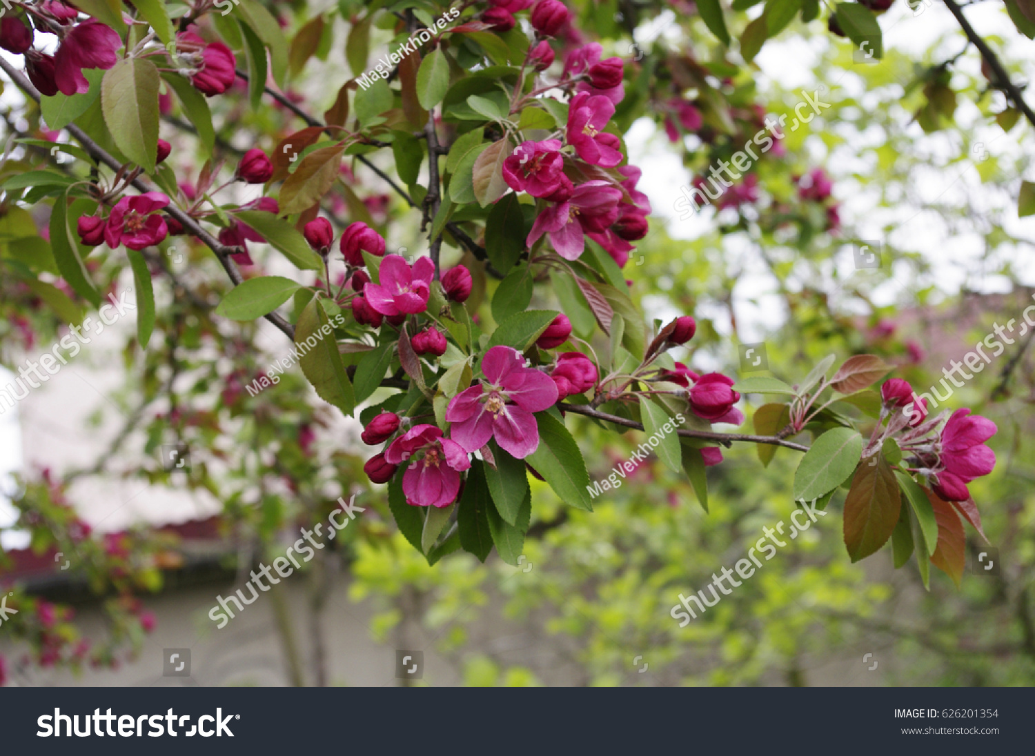 Blooming Apple Tree Apple Tree Branch Covered With Pink Flowers And