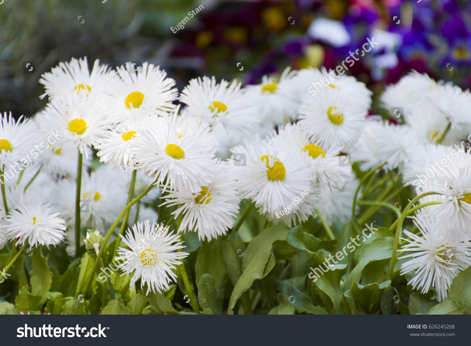 White Flowers Yellow Middle Stock Photo Edit Now 626245268