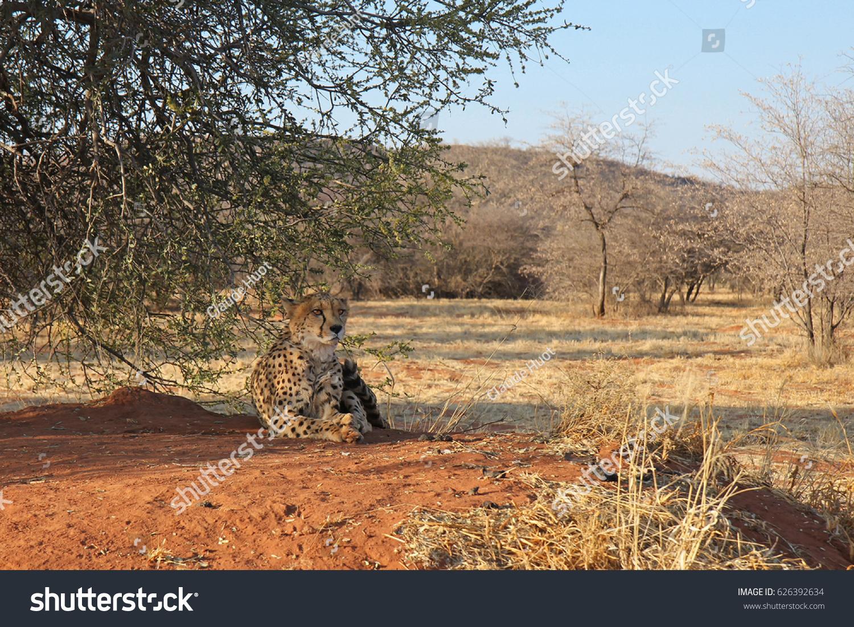 Cheetah resting in the shade in Okonjima Nature Reserve, Namibia.