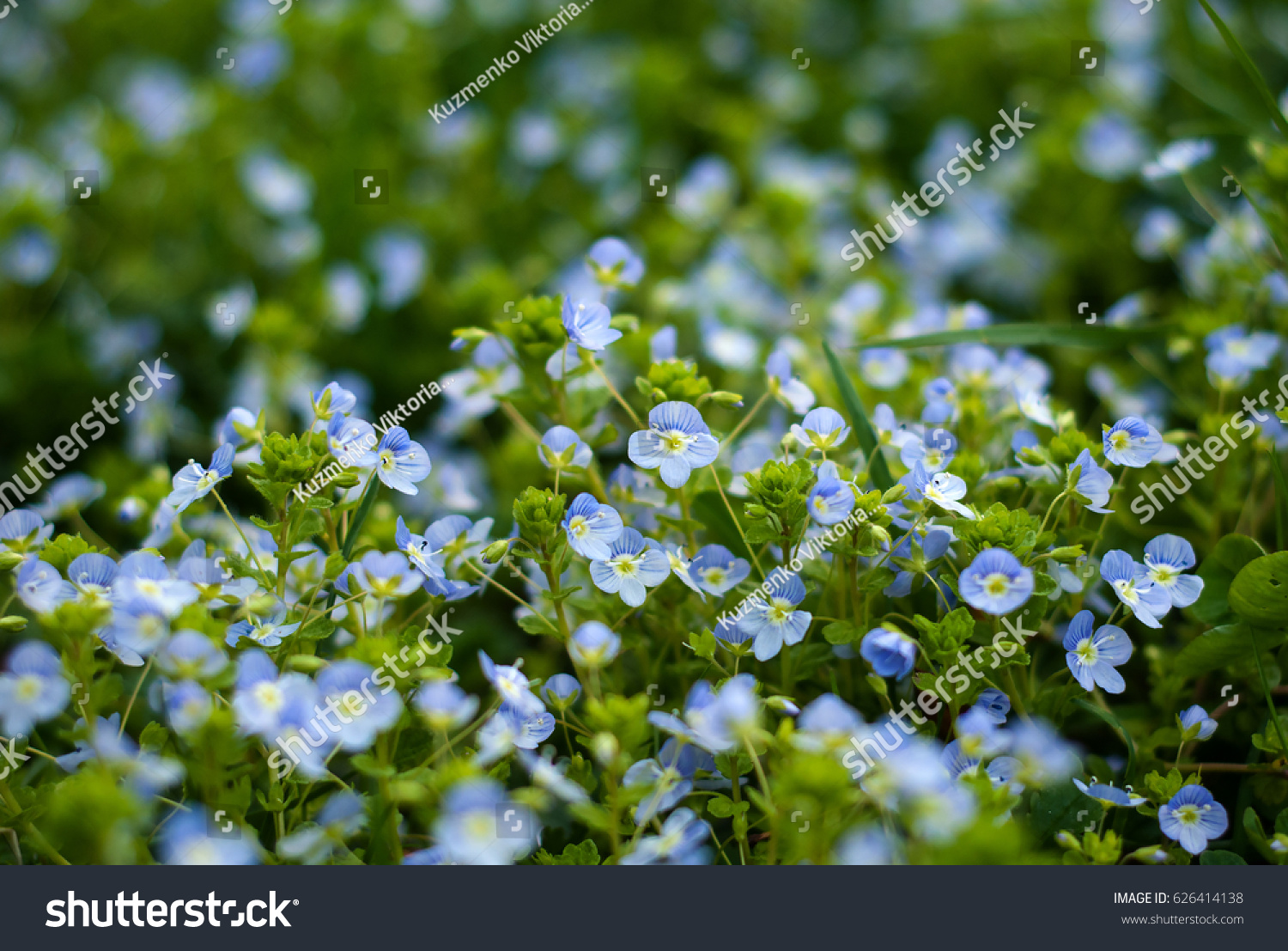 Field Blue Flowers Blue Small Wildflowers View Stock Photo Edit Now