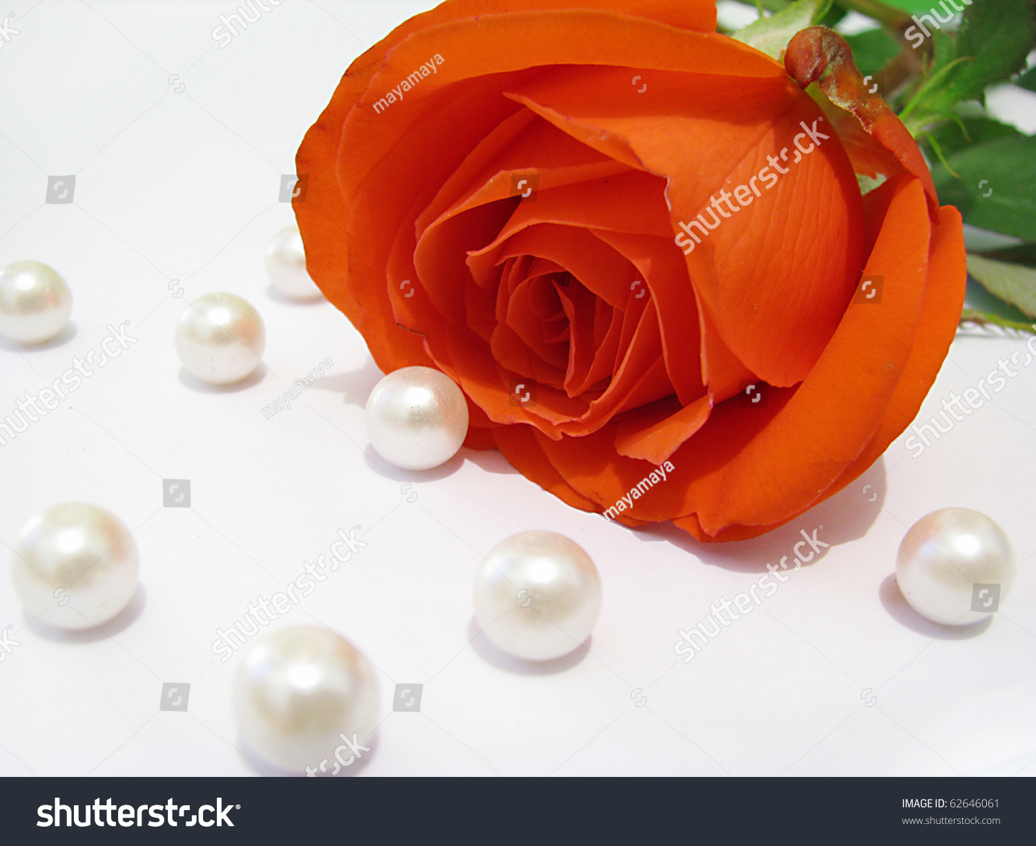 Beautiful Red Rose With Pearls Stock Photo 62646061 ...