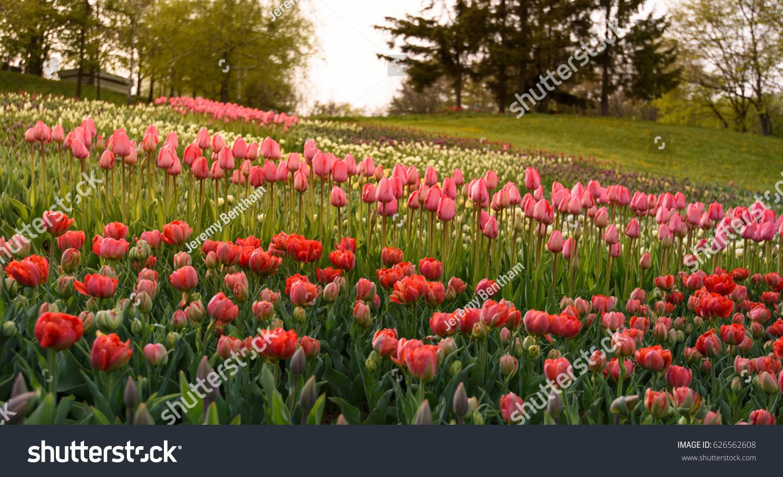 Springtime in Albany NY at Washington Park. Tulips of read, orange ...