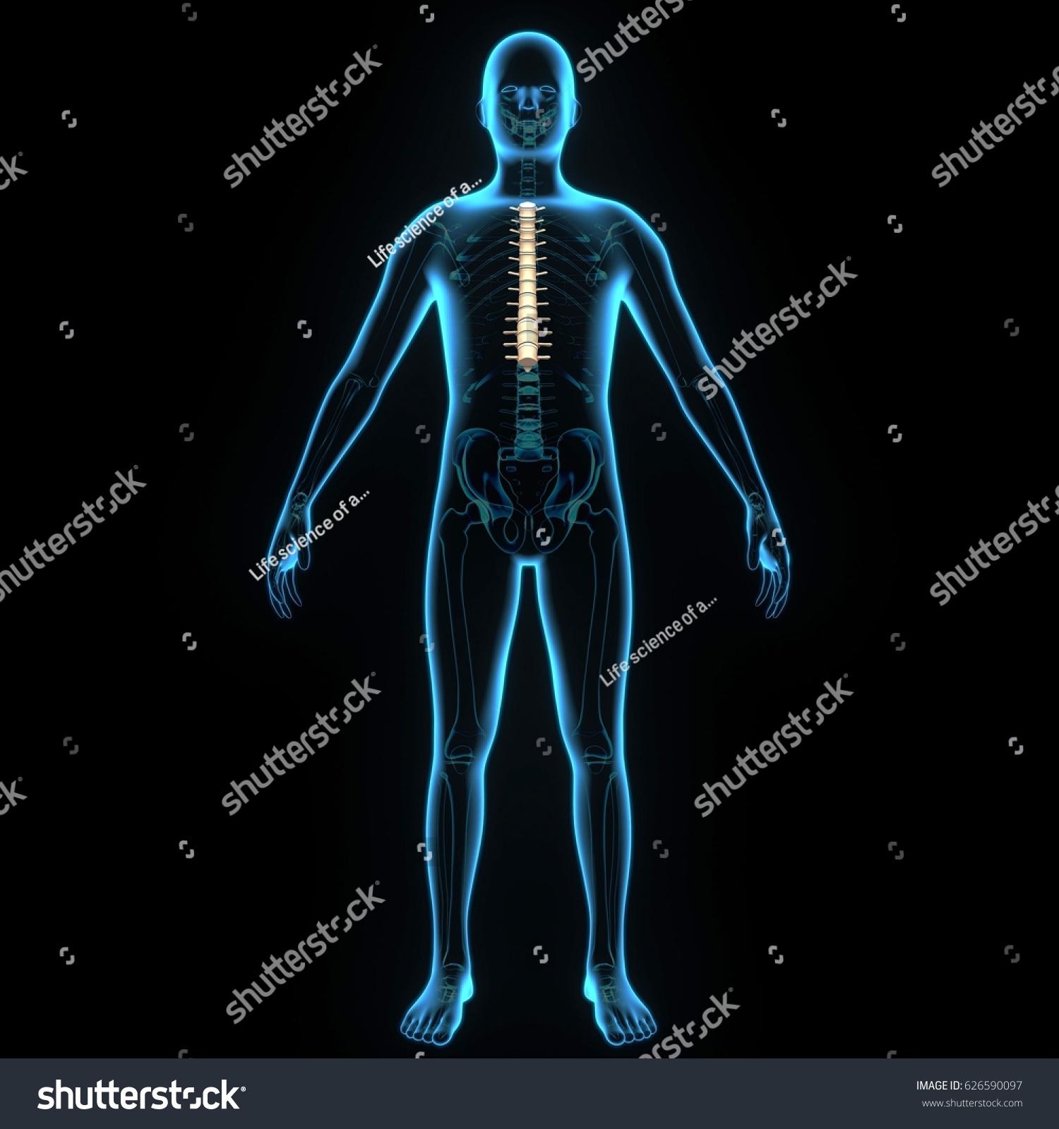 3 D Illustrator Thoracic Pain Backbone Anatomy Stock Illustration