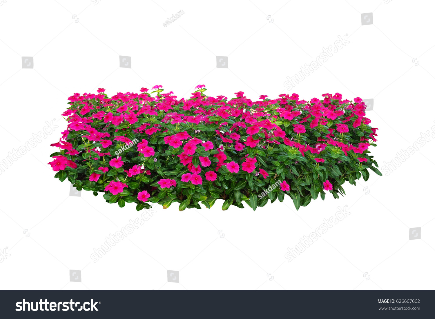 Pink Flowers Bush Tree Isolated On White Background With Clipping