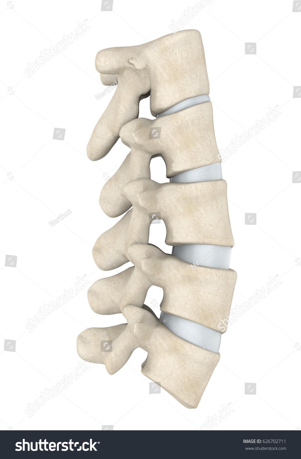 Human Lumbar Spine Anatomy Isolated 3 D Stock Illustration 626702711