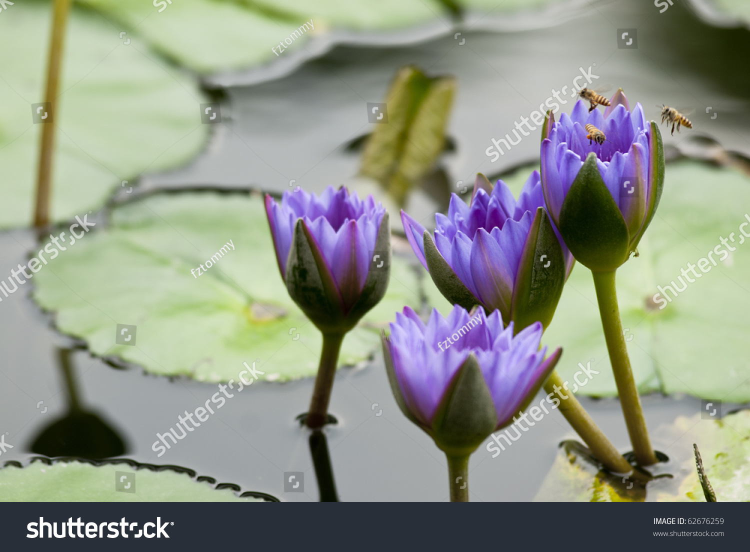 Three Bees Flying On Blue Lotus Stock Photo Royalty Free 62676259