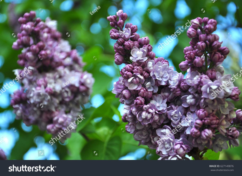 Purple jasmine stock photo edit now 627149876 shutterstock purple jasmine izmirmasajfo