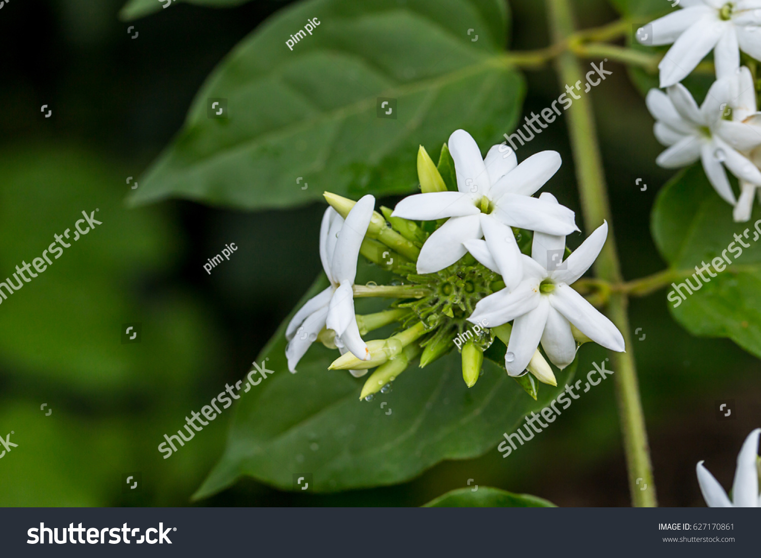 Close Jasmine Flower Garden Stock Photo Royalty Free 627170861