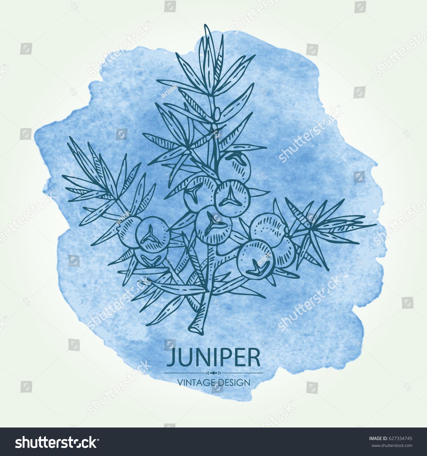 Juniper ordinary: photo, application in medicine 85