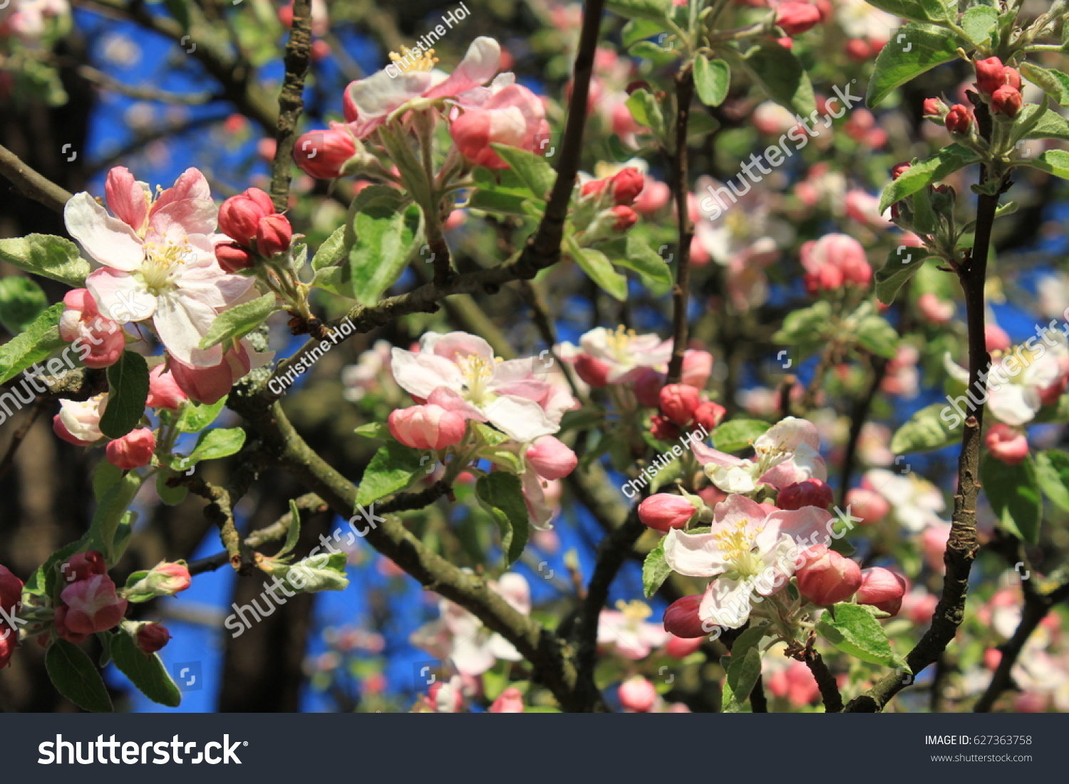 Apple Tree Spring Cluttered Blossomsflowering Tree Stock Photo