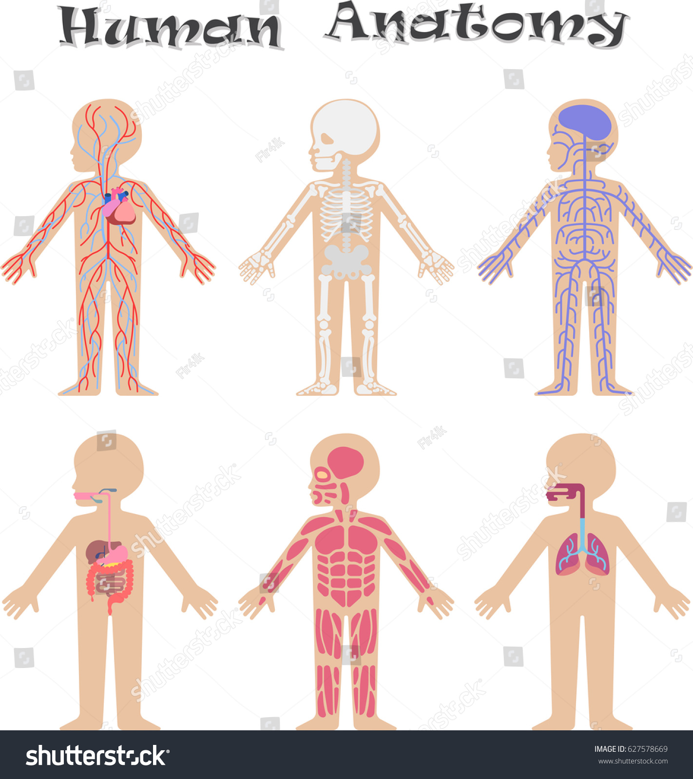 Human Anatomy Kids Circulatory Support Nervous Stock Illustration