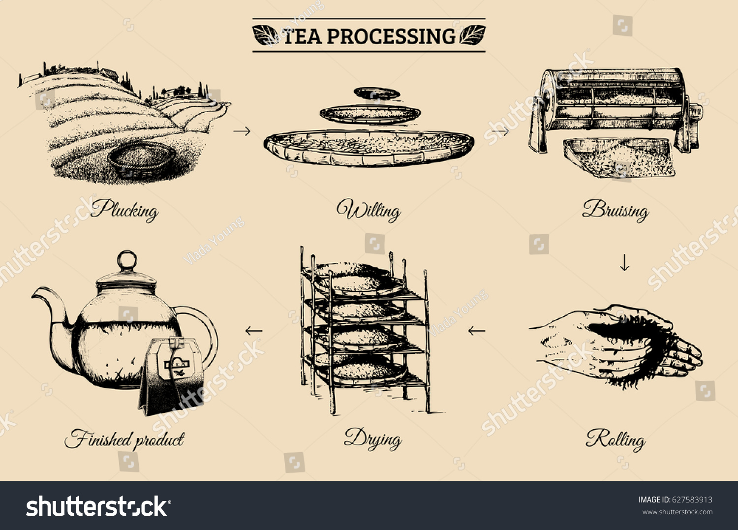 Vector Infographics Illustrations Tea Processing Authentic
