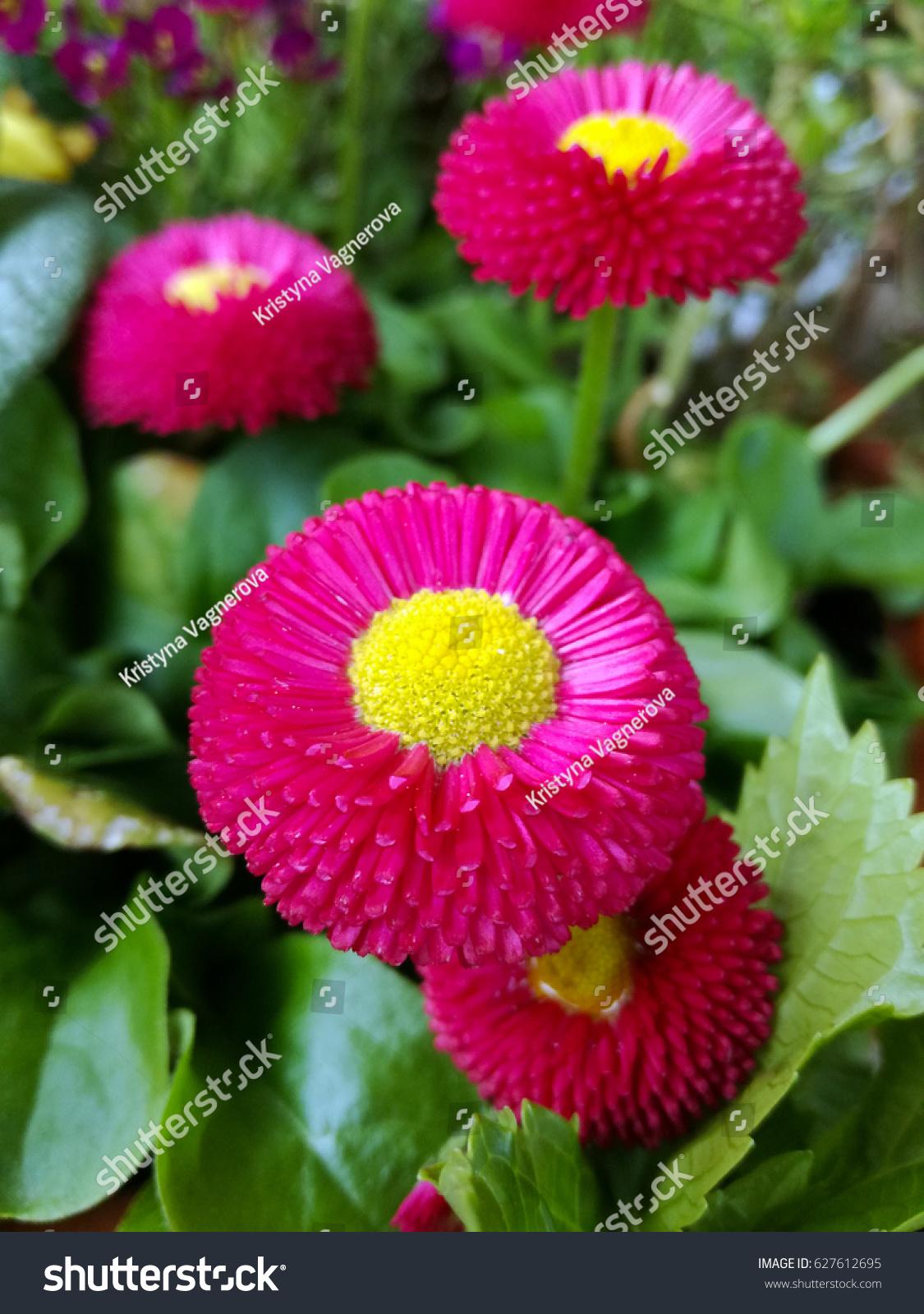 Dark pink english daisy flower bellis stock photo edit now dark pink english daisy flower or bellis perennis blooming flowers close up image of izmirmasajfo