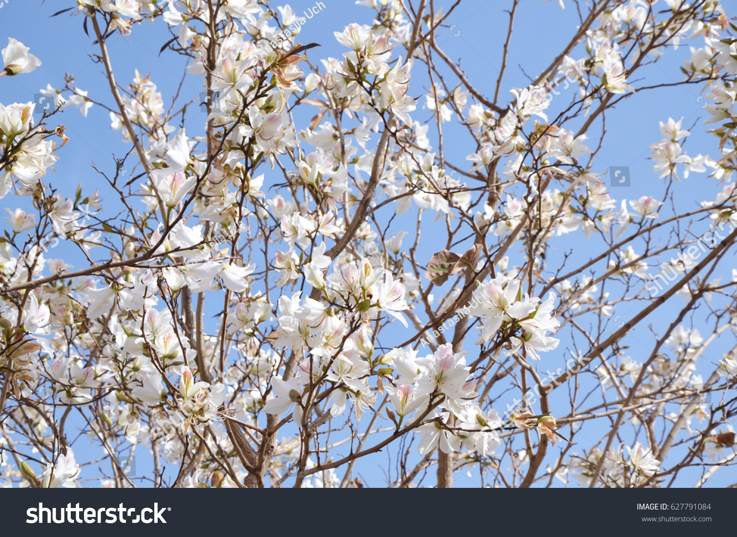 Blooming Tree With White Flowers In Israel Park Ez Canvas