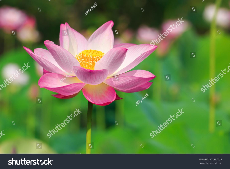 Beautiful lotus flower in blooming ez canvas id 627837983 izmirmasajfo