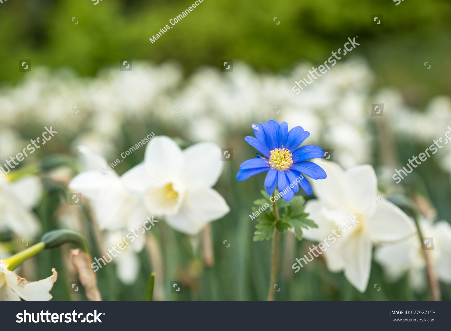 Bright White Flowers One Blue Being Stock Photo Edit Now 627927158