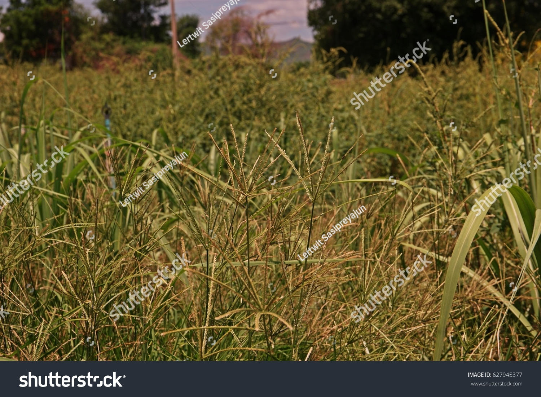 spiny amaranth spiny pigweeda herbvegetable broad stock photo royalty free 627945377 shutterstock