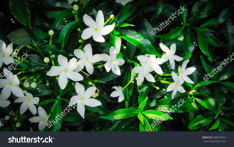 Jasmine Star Flowers On Green Leafy Stock Photo Edit Now 628015814