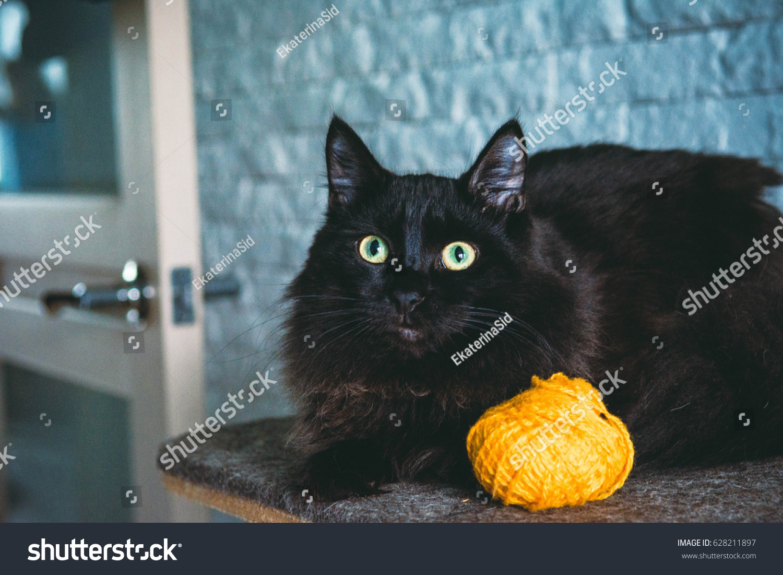 Cute Black Kitten Stock Shutterstock
