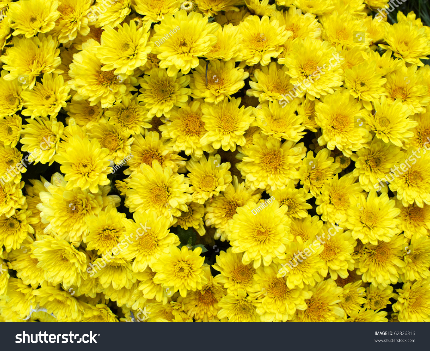 Yellow chrysanthemum flowers background stock photo edit now yellow chrysanthemum flowers background mightylinksfo