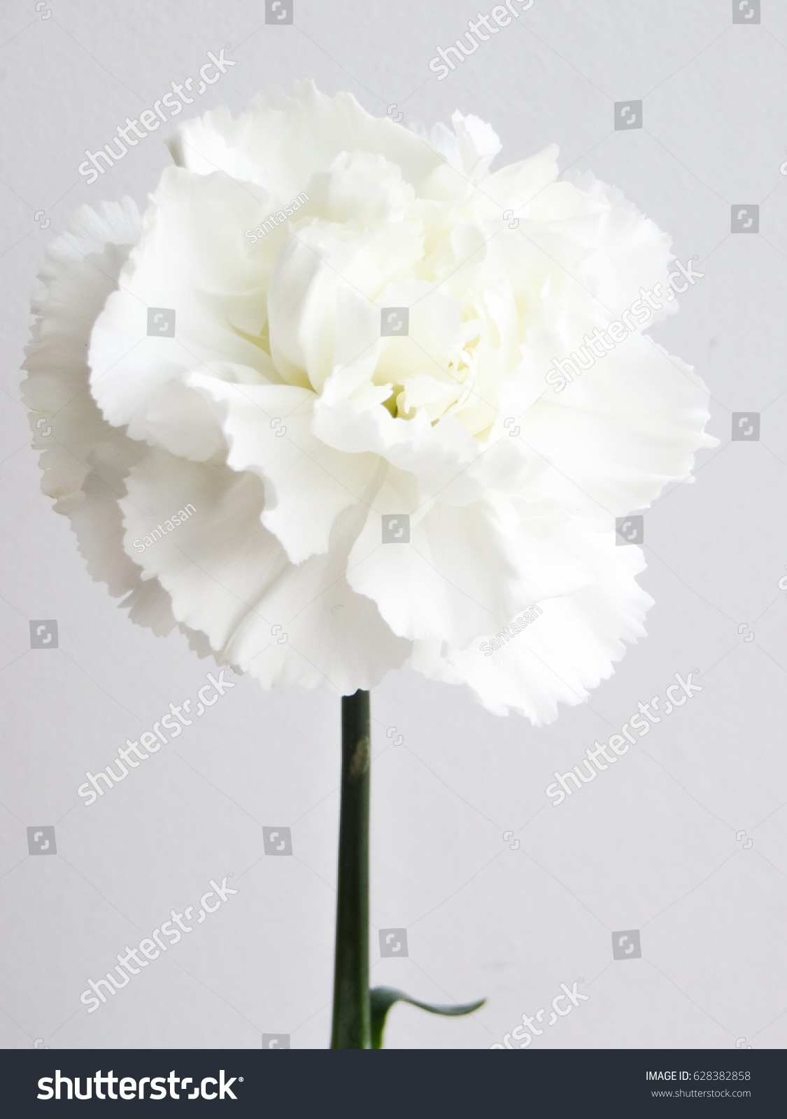 Beautiful White Carnation Flowers White Flower Stock Photo (Royalty ...