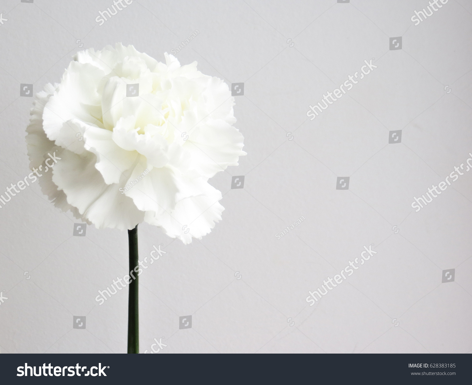 Beautiful White Carnation Flowers White Flower Stock Photo Edit Now