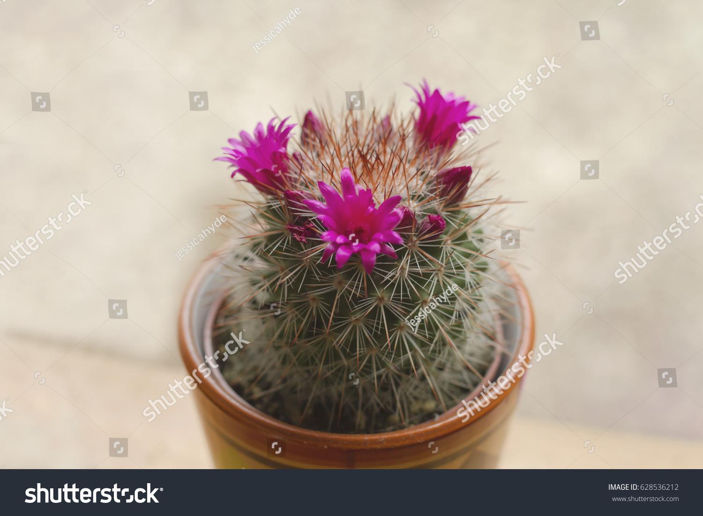 Mammillaria Spinosissima Cactus Pink Flowers Blooming Stock Photo
