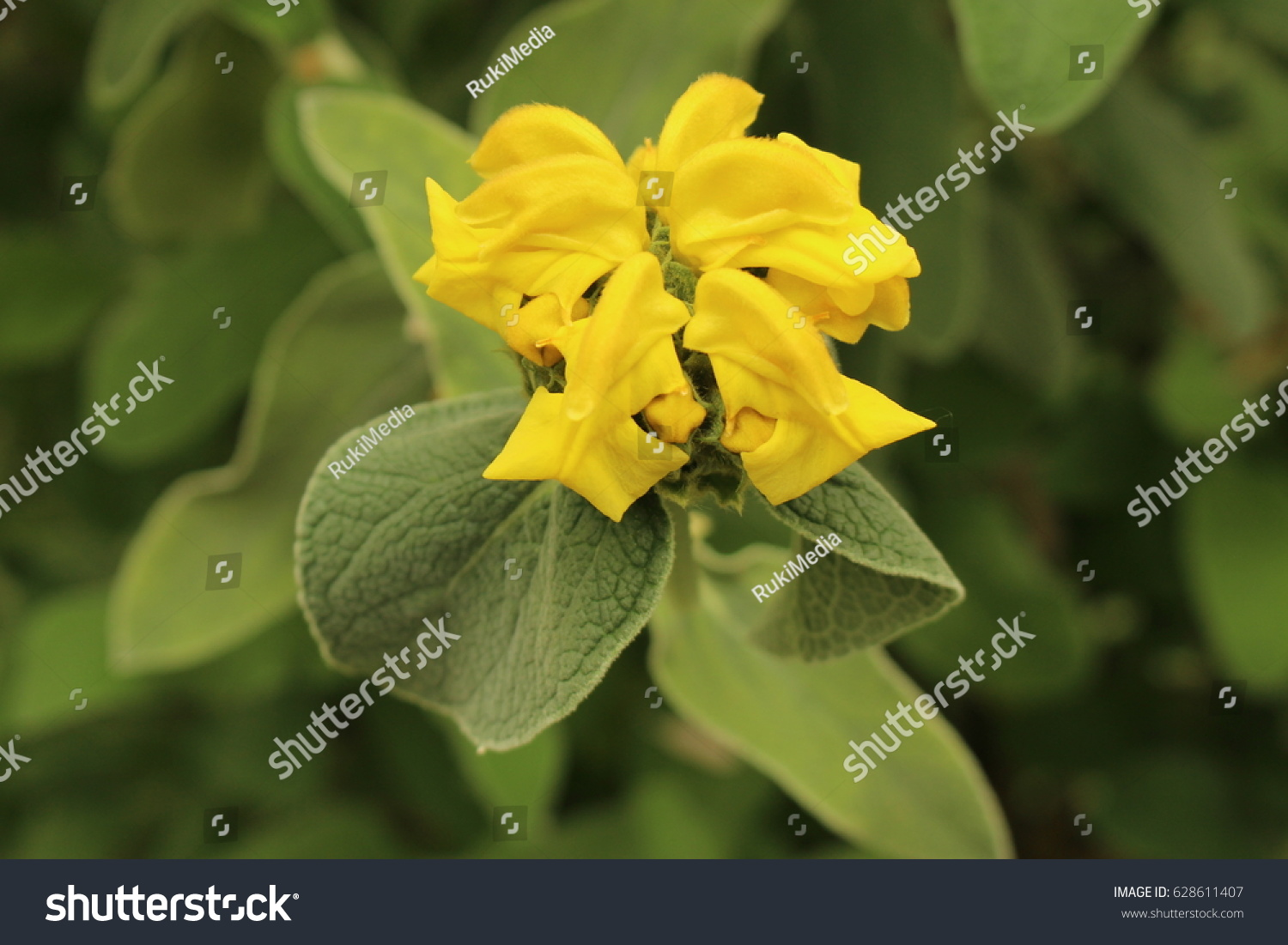 Yellow Jerusalem Sage Flower St Gallen Stock Photo Royalty Free