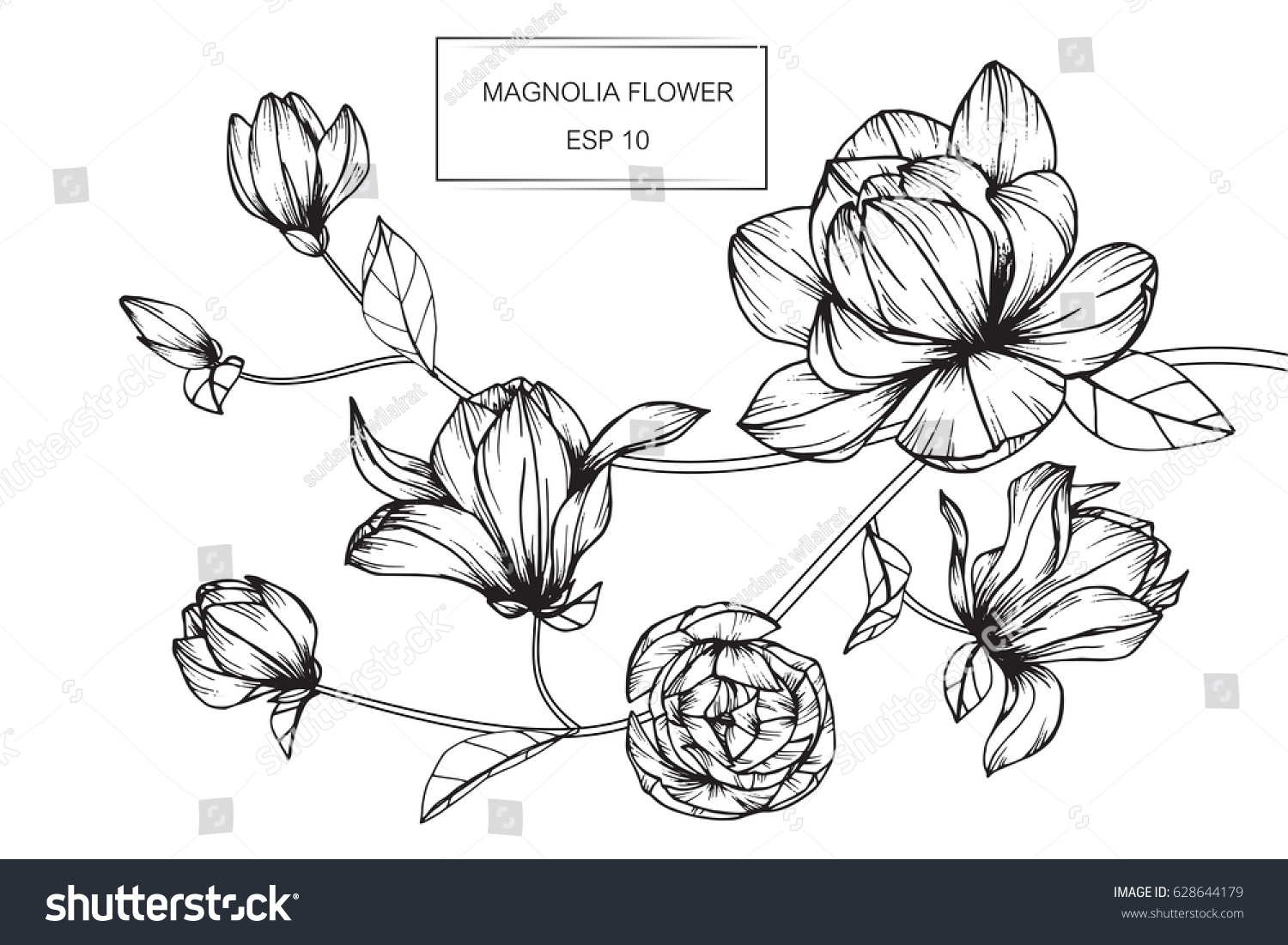 Magnolia Flower Line Drawing : Magnolia flowers drawing sketch lineart on stock vector