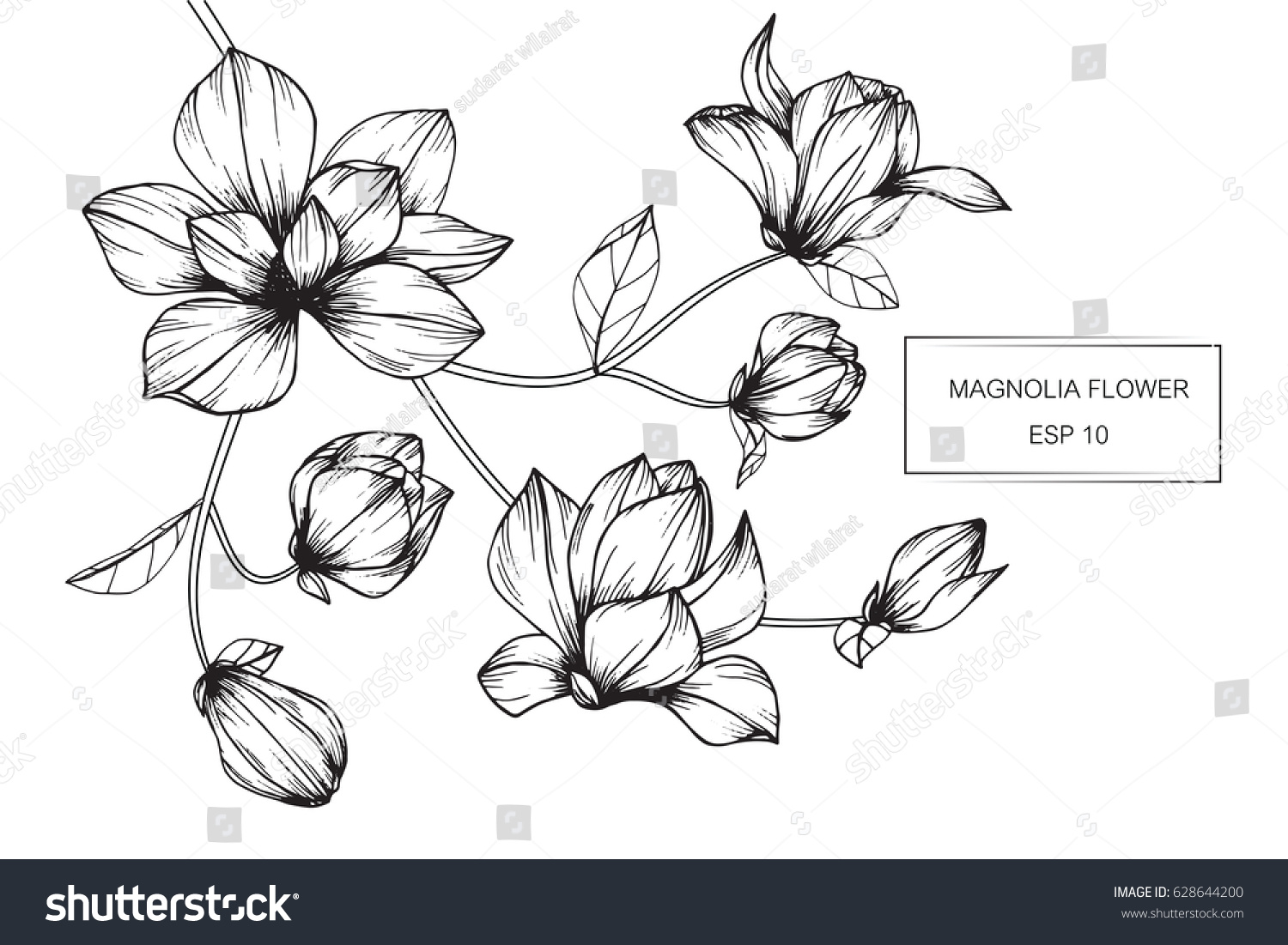 Magnolia flowers drawing and sketch with line-art on white backgrounds. #628644200