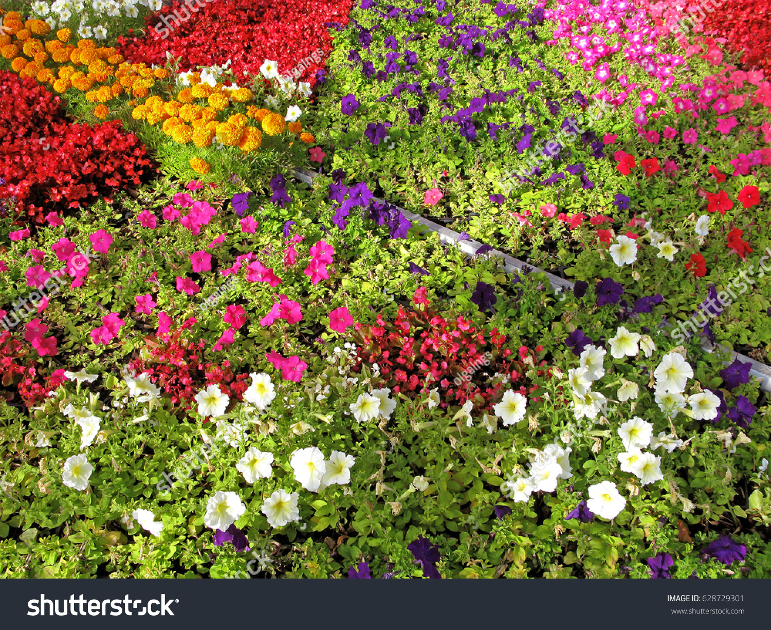 Blooming annual flowers on flowerbed petunia stock photo royalty blooming of annual flowers on flowerbed petunia marigold begonia izmirmasajfo Image collections