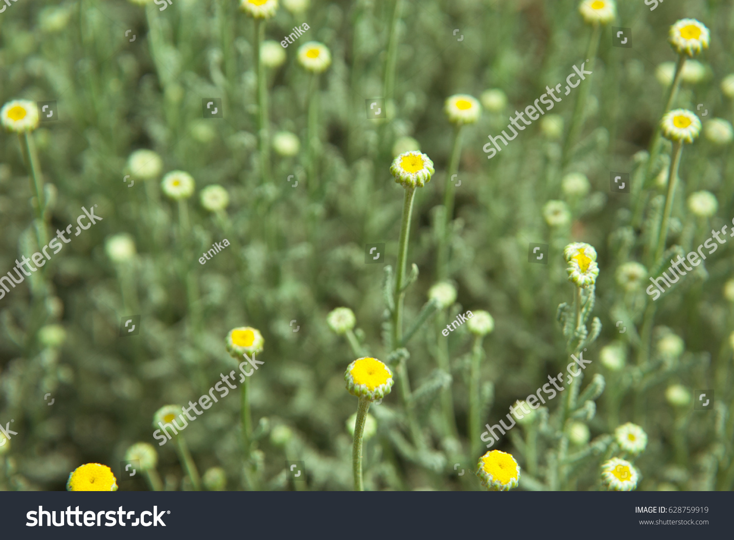 Lawn With Small Yellow Wild Flowersfloral Nature Backgroundrning
