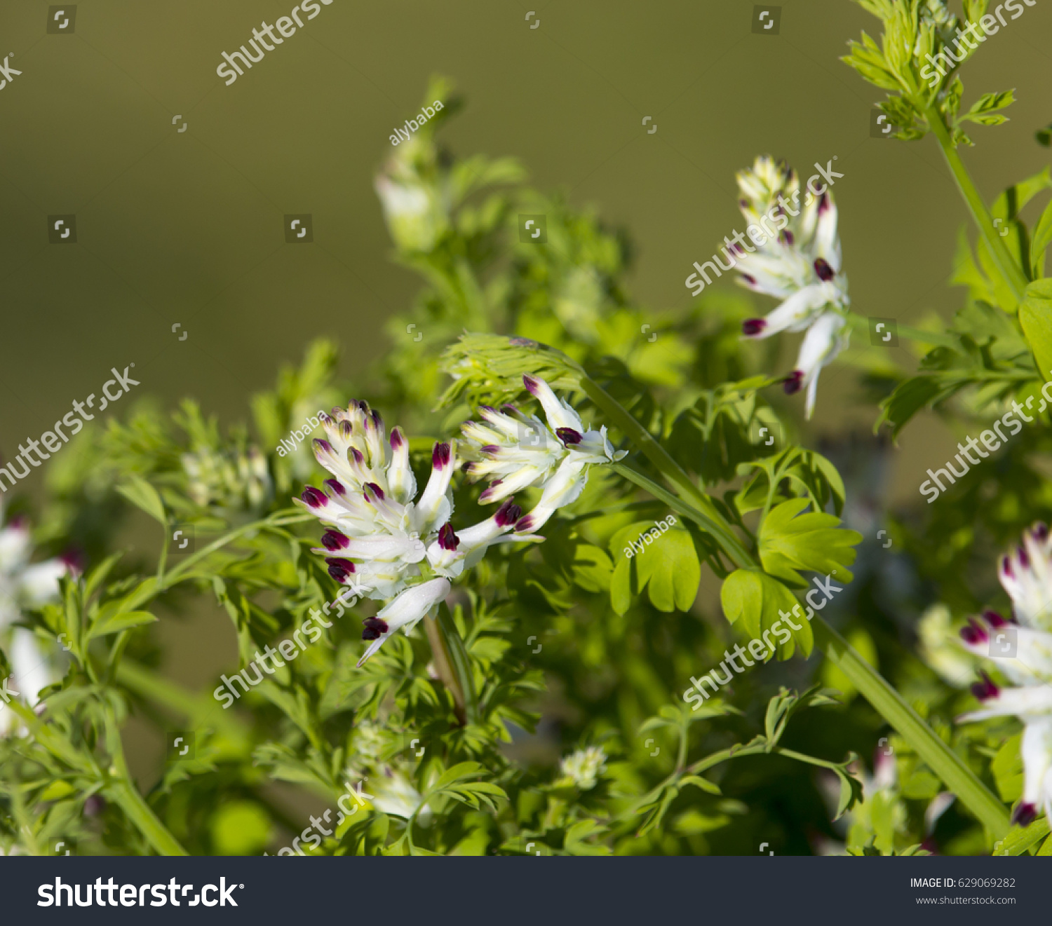 Pretty White Flowers Fumaria Officinalis Common Stock Photo Edit