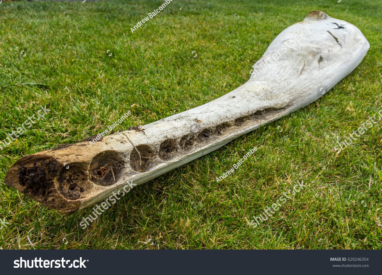 Part Lower Jaw Bone Sperm Whale Stock Photo Edit Now 629246354