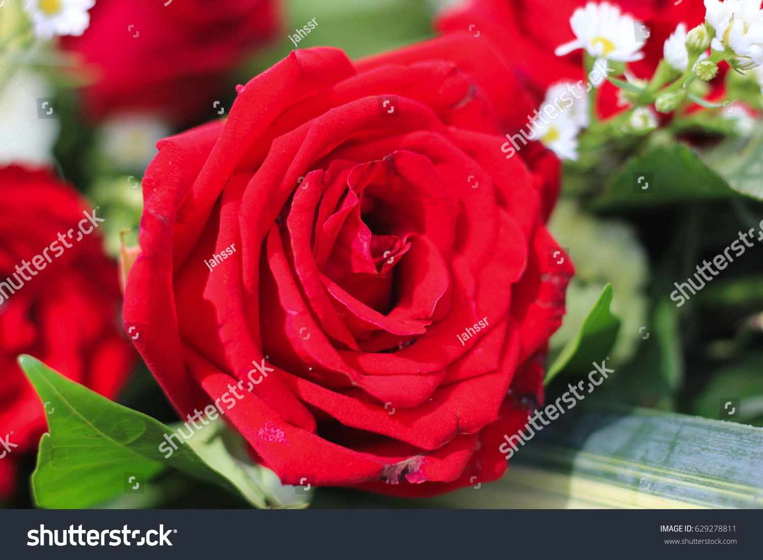 Red Rose Bouquet Little White Flowers Stock Photo (Royalty Free ...