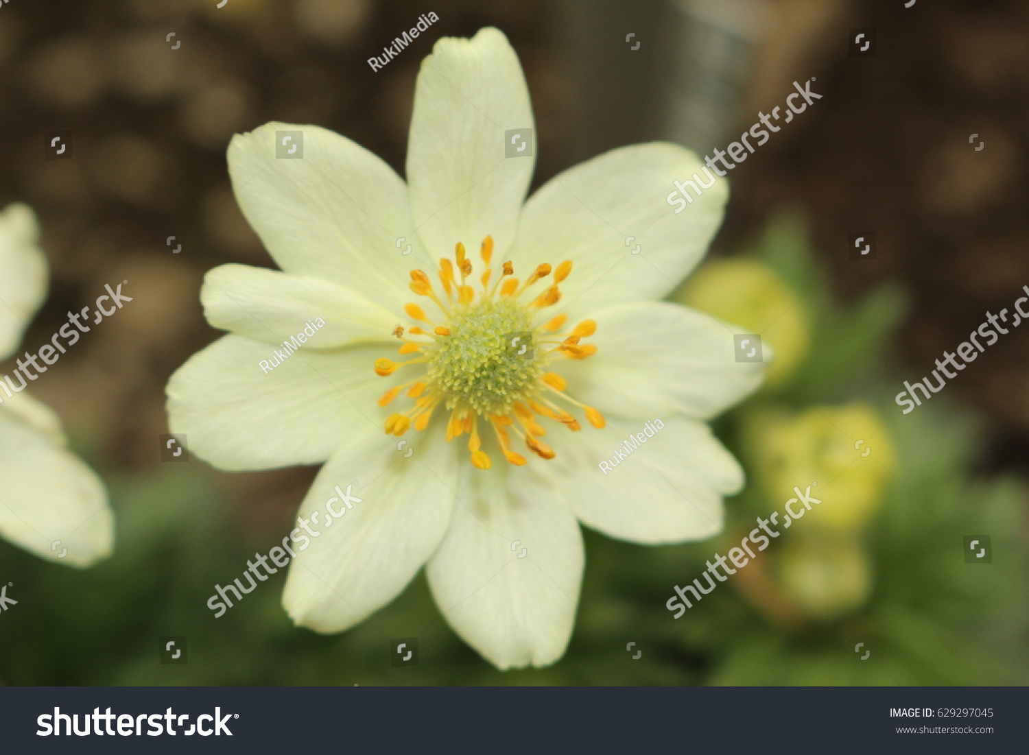 Yellow Anemone Flower Or Cyclamen Leaved Anemone Stock Photo Edit