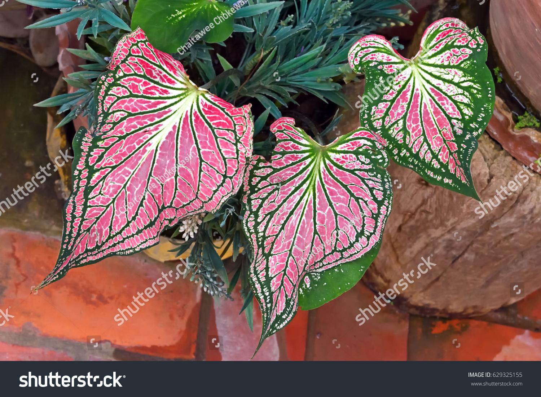 Fancy Leaf Caladium Heart Jesus Closeup Stock Photo (Edit Now ...