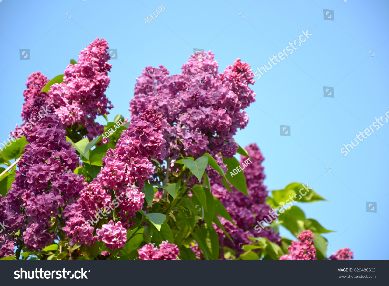 Lilac Spring Flowers On Blue Sky Background Spring Nature Lilac