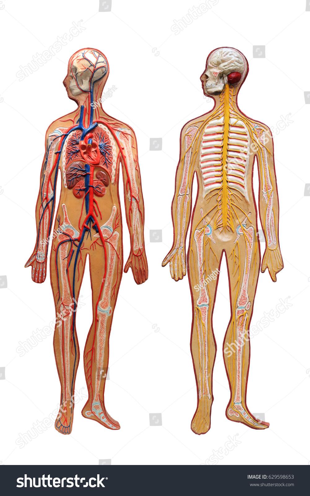 Medical Mannequin Blood Vessels Lymph Glands Stock Photo Edit Now