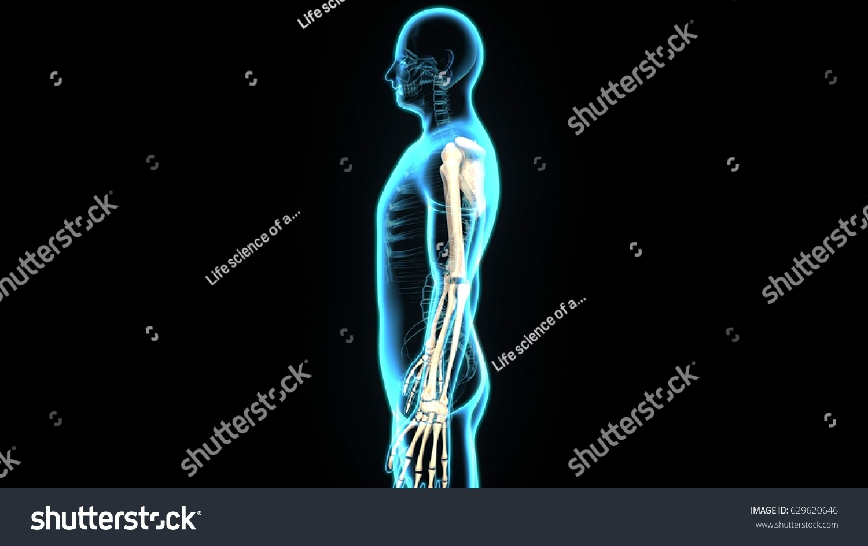 3d illustration human body Scapula | EZ Canvas