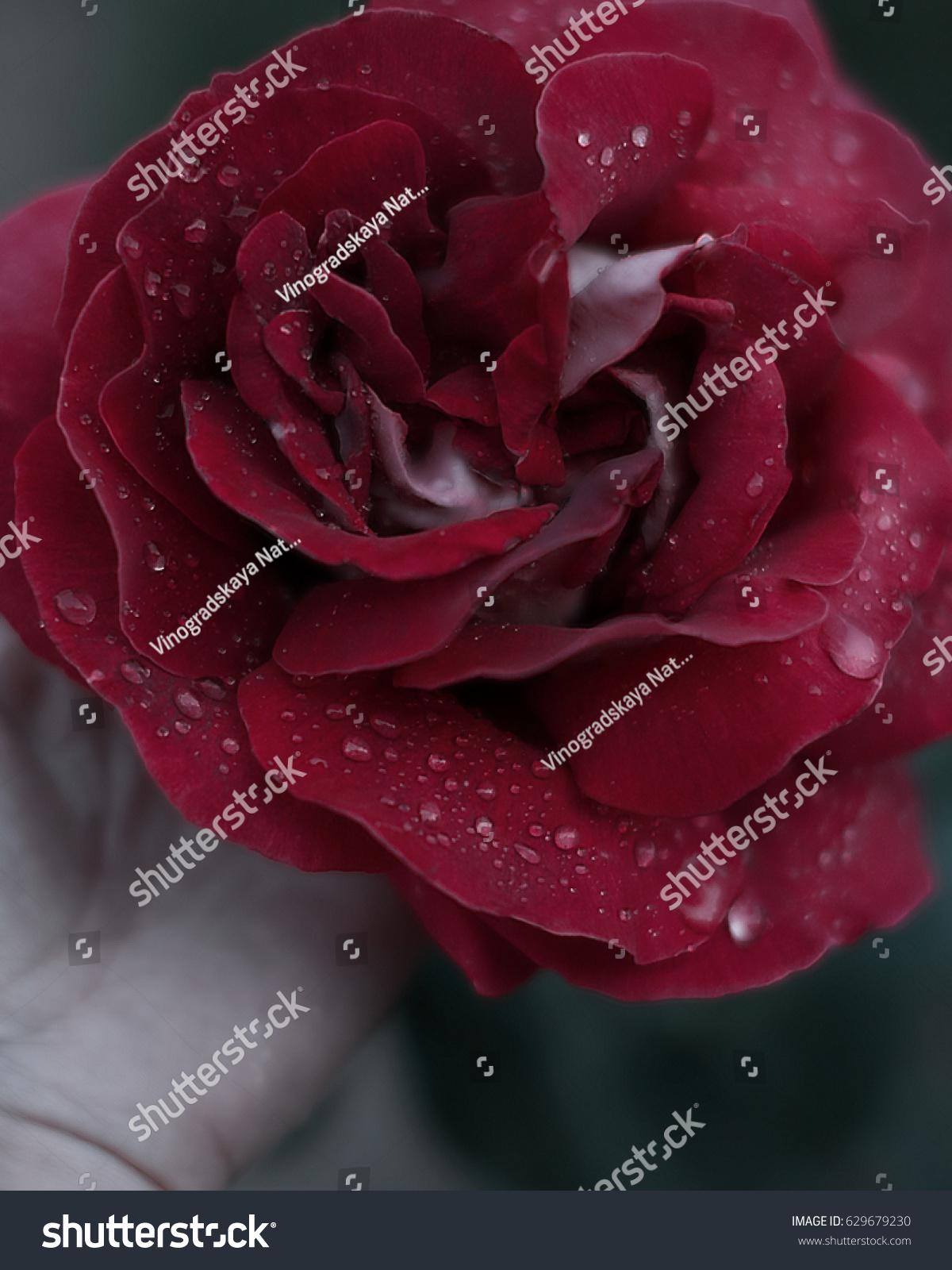 Beautiful flower red rose garden drops stock photo royalty free beautiful flower red rose in gardenw drops on izmirmasajfo