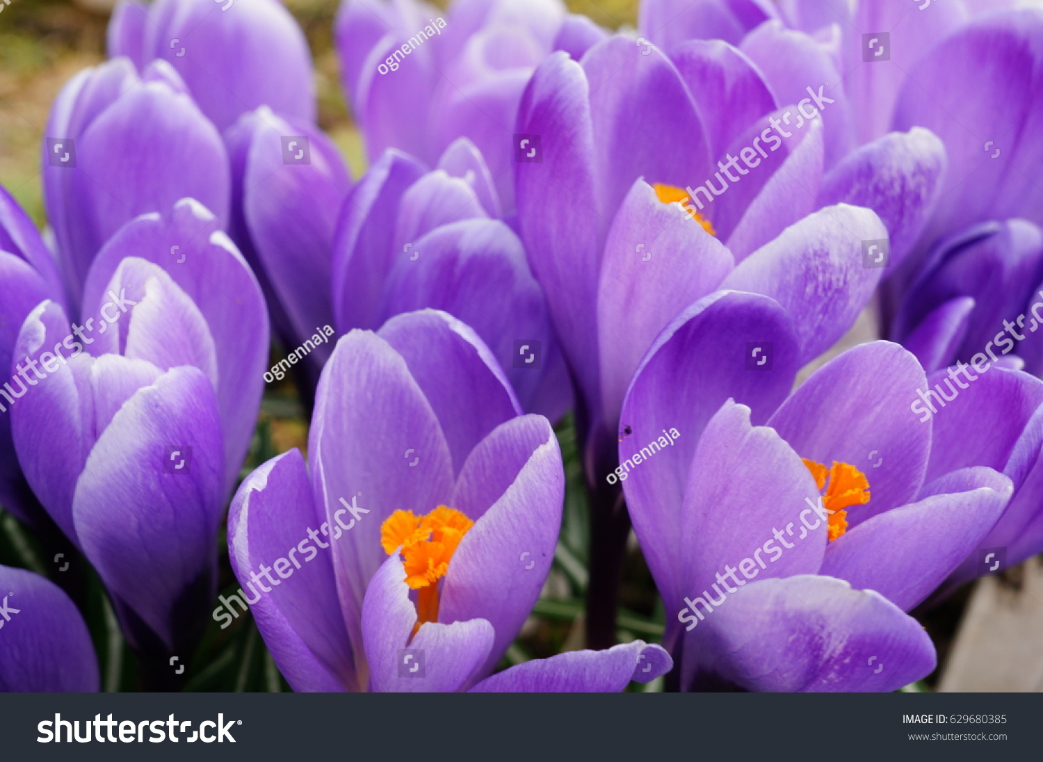Spring first tender lilac crocuses blossomed stock photo 629680385 in the spring the first tender lilac crocuses blossomed saffron a symbol of hope buycottarizona Image collections