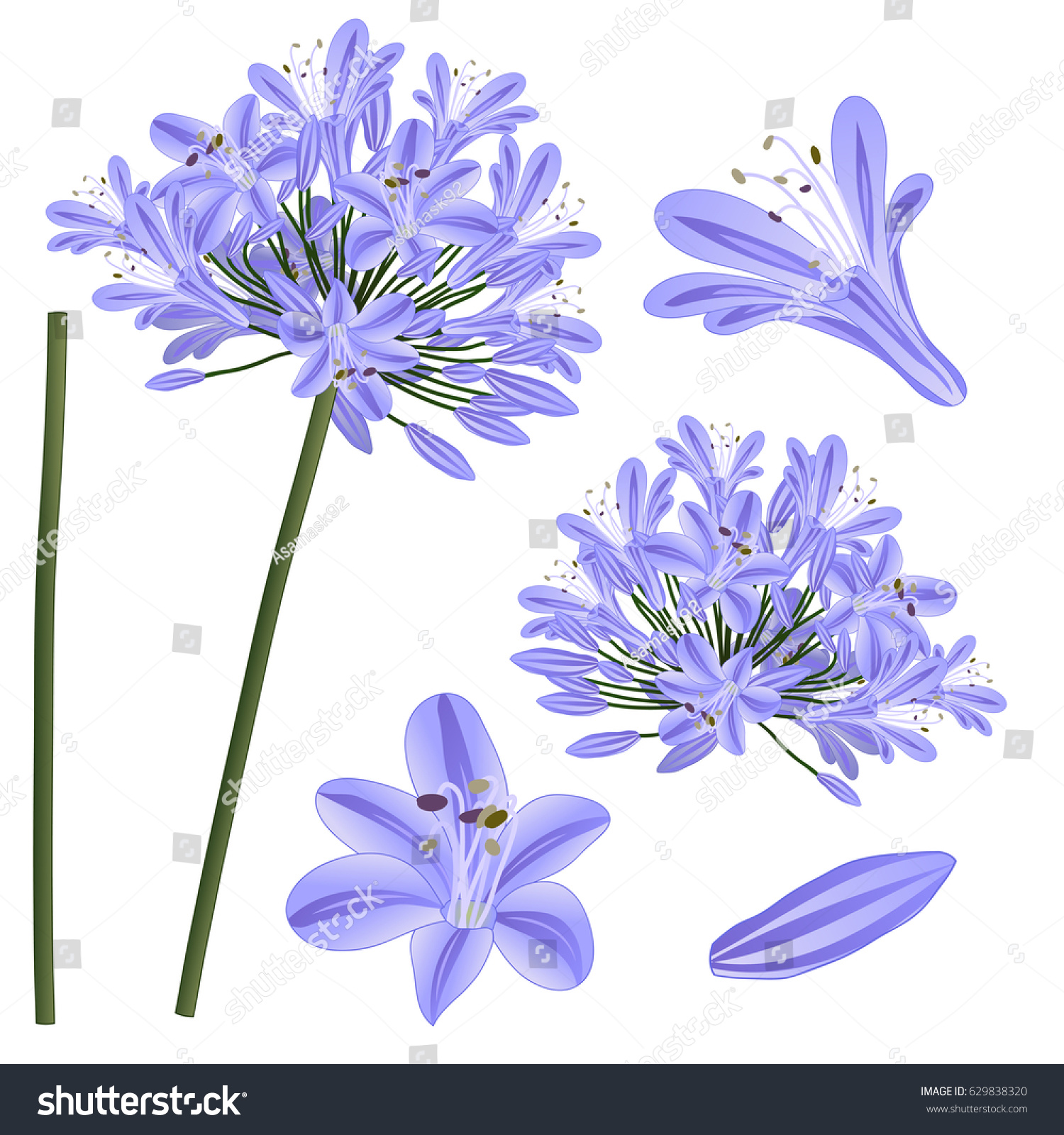 Blue purple agapanthus lily nile african stock vector 629838320 blue purple agapanthus lily of the nile african lily vector illustration isolated izmirmasajfo