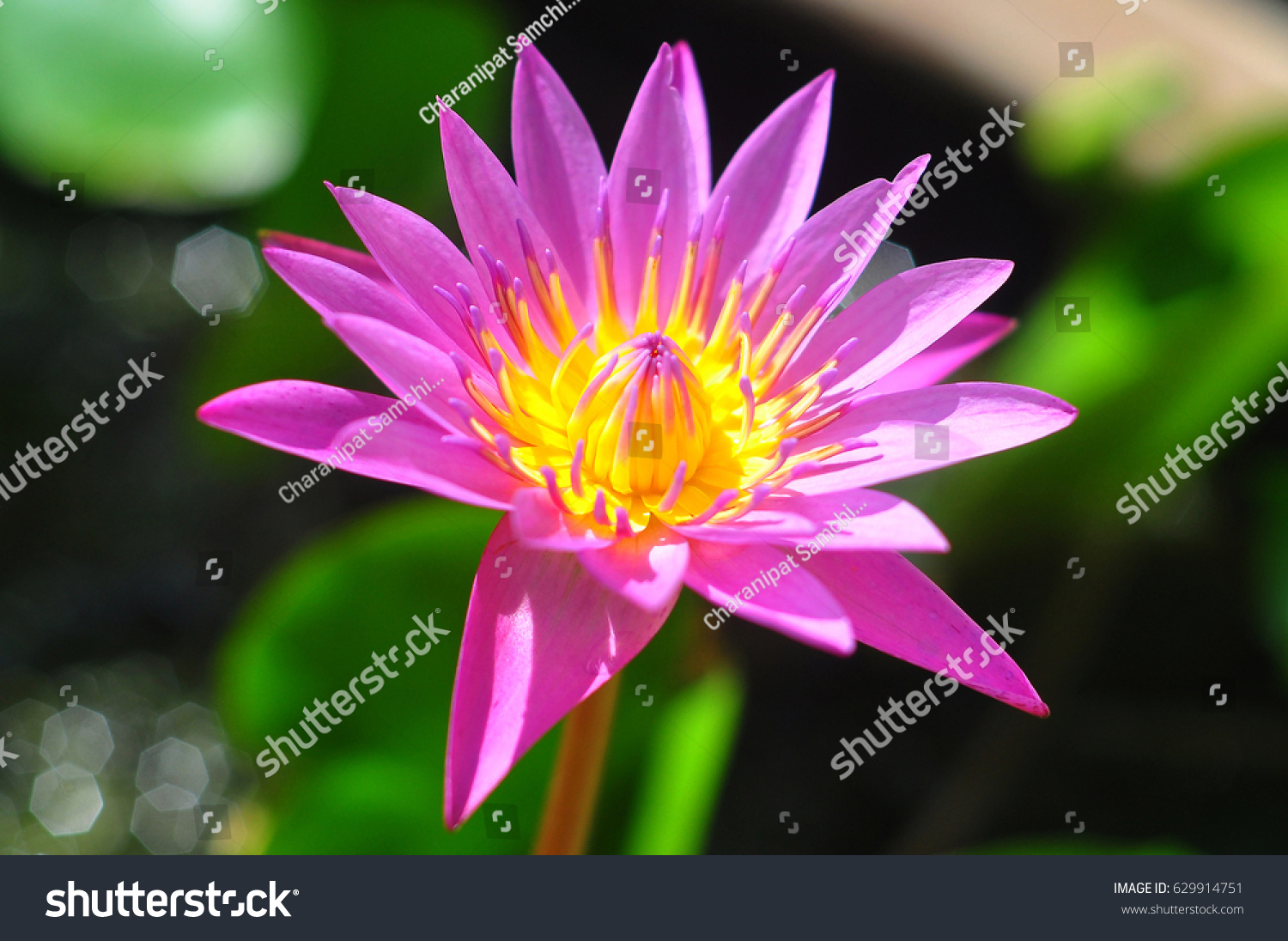 Lotus flower blooming ez canvas id 629914751 izmirmasajfo